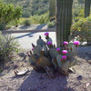 8 Cactuses Bring Spring Flowers to Dry Gardens