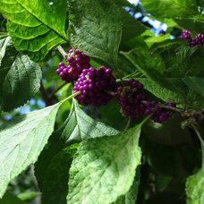Landscape Callicarpa americana (American Beautyberry)