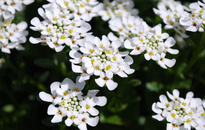 Great Design Plant: Evergreen Candytuft for Glossy Winter Foliage