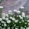 冬の庭を彩るおすすめの花8選