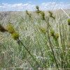 Great Design Plant: Carex Brevior