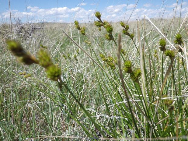 Landscape Carex brevior