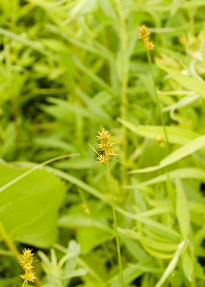 Landscape Carex brevior PLAINS OVAL SEDGE