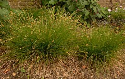 Great Design Plant: Carex Eburnea