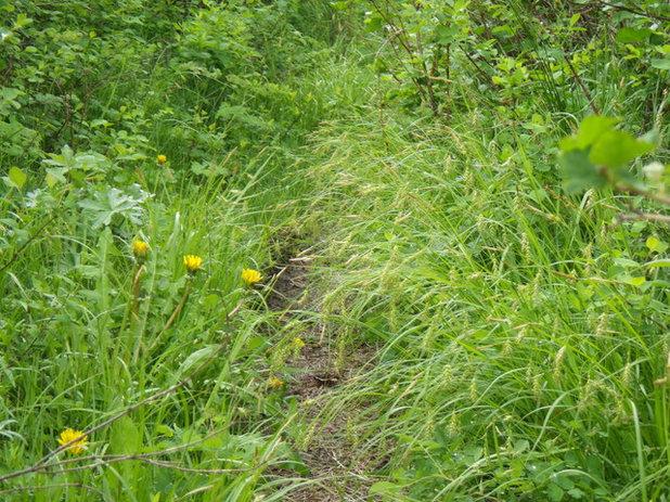 Landscape Carex sprengelii / Long-Beaked Sedge