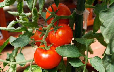 Everything You Need to Know to Grow Tomatoes in Pots