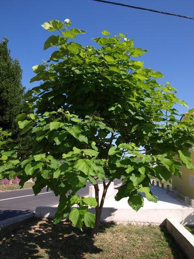 Alberi a crescita rapida per giardinieri impazienti - Alberi da giardino a crescita rapida ...