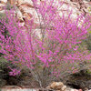 Great Design Plant: Cercis Occidentalis for Four Seasons