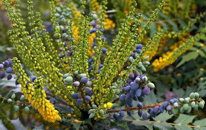 Great Design Plant: 'Charity' Oregon Grape