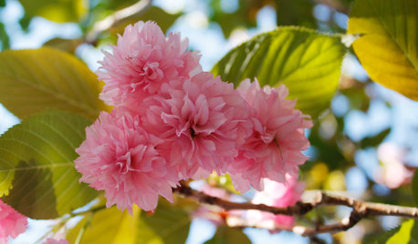 Get to Know These Fabulous Flowering Cherries