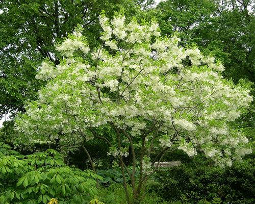 Specimen tree houzz for Specimen trees