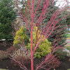 Great Design Plant: Coral Bark Japanese Maple, a Winter Standout