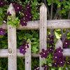 華やかで繊細。クレマチスの種類と育て方のポイント