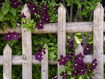 8 romantic spring flowering vines to cover a trellis mightylinksfo