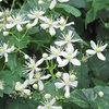 Great Design Plant: Clematis Virginiana