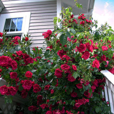 Traditional Landscape Climbing Rose