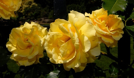 5 Favorite Yellow Roses for a Joyful Garden