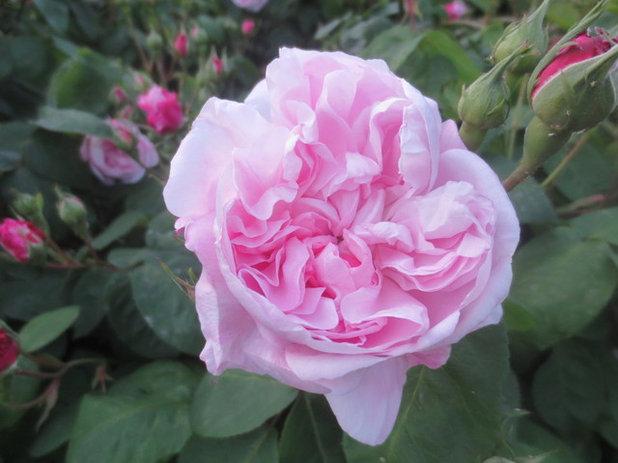 Garden Clos Barbisier, Rose Fantin-Latour
