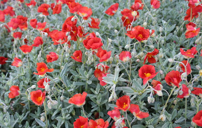 Great Design Plant: Sunrose Dazzles on Dry Slopes