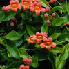 Great Design Plant: Butterfly-Friendly Crossvine