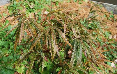 Great Design Plant: Comptonia Peregrina