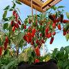 Guten Appetit! 8 Pflanzen, die auf dem Balkon leckere Ernte schenken