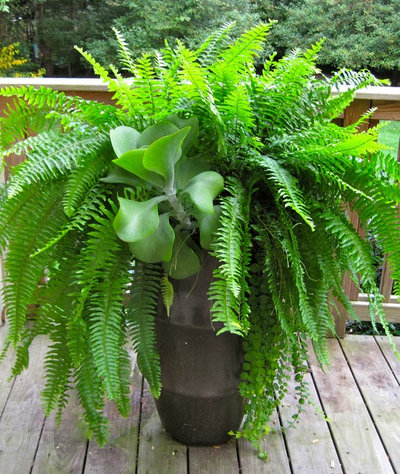 Get to Know Boston Fern a Plant Thats Always in Style