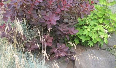 5 Purple-Leaf Majesties of Shrubs