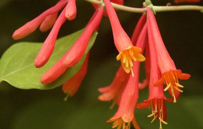 Great Design Plant: Lonicera Sempervirens