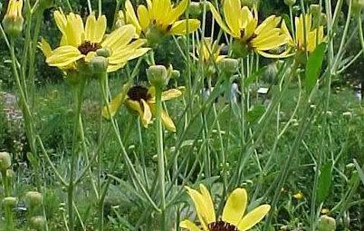 Great Design Plant: Coreopsis Tripteris