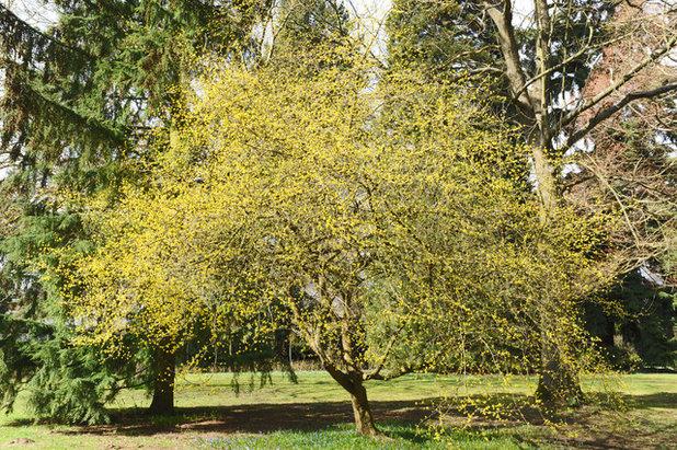 Classico Giardino Cornelian cherry dogwood (Cornus mas)