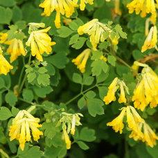 Traditional Landscape Corydalis lutea (syn. Pseudofumaria lutea)