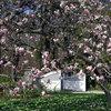 Magnolio: Cómo cuidar uno de los árboles más espectaculares