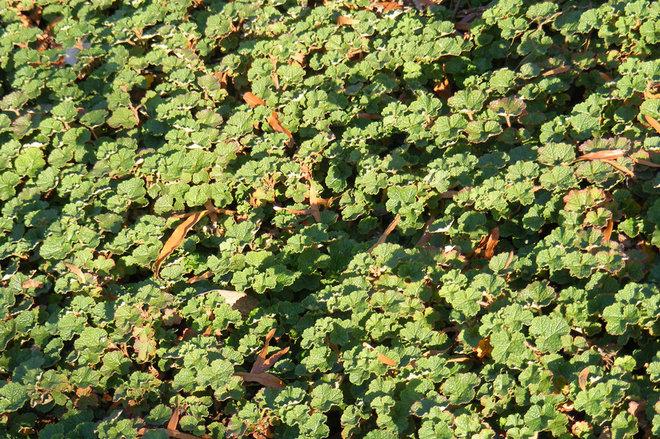Landscape Creeping raspberry (Rubus calycinoides)