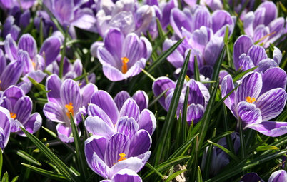 Plant Crocuses in Fall for an Early Spring Show