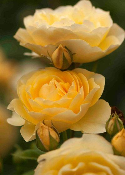 Как сохранить саженцы роз с открытой корневой системой до посадки?