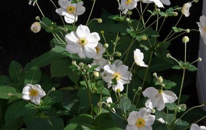 Great Design Plant: Japanese Anemone