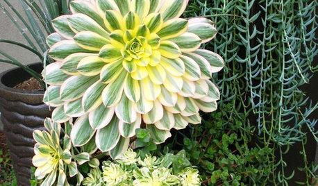 Great Design Plant: Aeonium