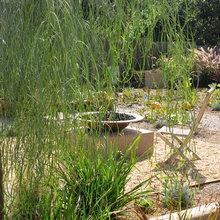 Great Design Plant: Acacia Stenophylla
