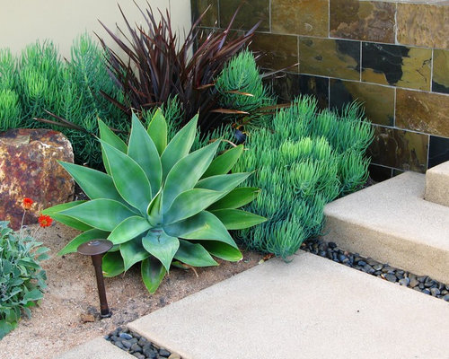 best agave attenuata design ideas amp remodel pictures houzz