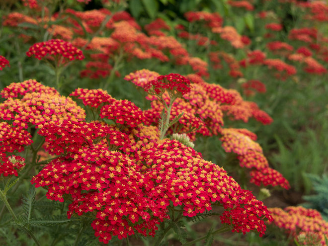 Top 12 summer blooming perennials for deer resistant drama for Low maintenance perennials zone 4