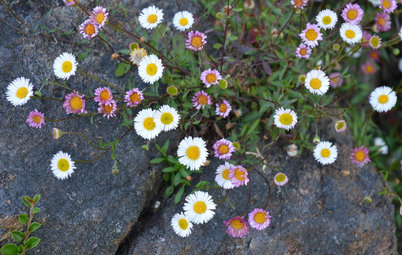 This Daisylike Ground Cover Brings Natural Beauty to Dry Gardens