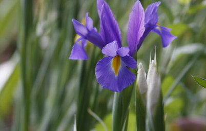 Plant These Irises to Grow Florist-Style Blooms