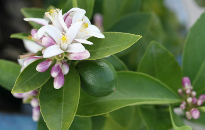 A Versatile Lime Tree Is a Happy Addition to a Warm-Winter Garden