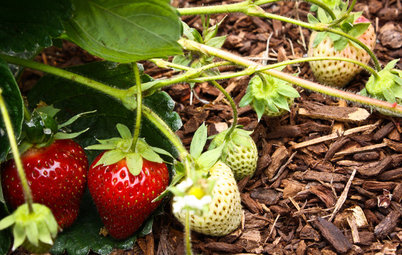 Summer Crops: How to Grow Strawberries