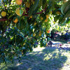 How to Grow 10 Favorite Fruit Trees at Home