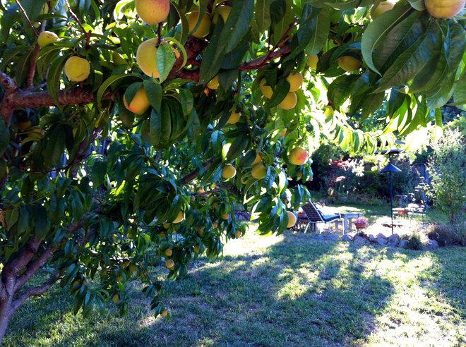 Landscape Elberta White Peach Tree