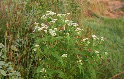 Great Design Plant: Common Boneset Helps Good Bugs Thrive