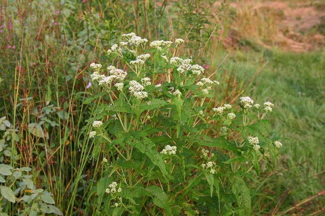 Landscape Eupatorium perfoliatum