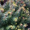Great Design Plant: Euphorbia